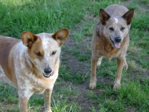 Diesel and Pilgrim - Queensland Heelers